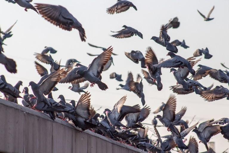 Il personale GEA ha iniziato a somministrare mangime antifecondativo nei luoghi di maggior concentrazione dei colombi, col fine di tutelare la salute pubblica e il decoro urbano.