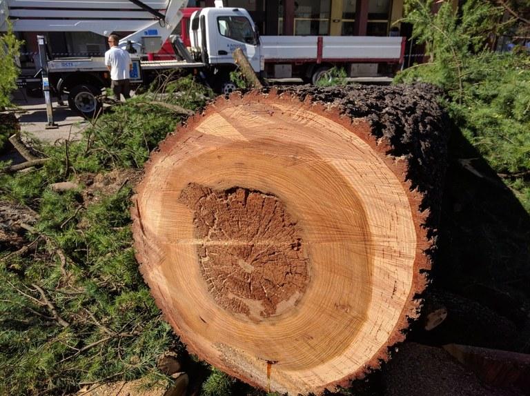 Foto  Sezione del tronco: la parte scura è marcescente