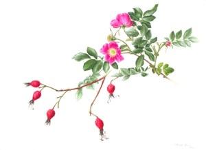 Rosa pendulina.jpg